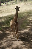 Girafe au parc de Casela Images stock