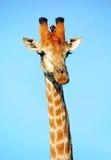 Girafe au parc national de Kruger Image stock