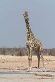 Girafe au point d'eau contre le ciel bleu Image stock