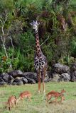 Girafe avec des cerfs communs Photo stock