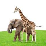 Girafe avec l'éléphant Photographie stock