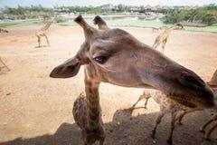 Girafe avec l'action amicale Photographie stock libre de droits