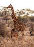 Girafe avec l'enfant Image stock