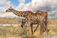 Girafe avec le veau grazzing Photo libre de droits