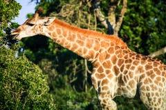 Girafe avec un long cou mangeant des feuilles Images stock