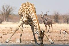 Girafe buvant au point d'eau Photos libres de droits
