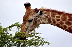 Girafe (camelopardalis de Giraffa) Photos libres de droits
