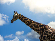 Girafe - camelopardalis del Giraffa Immagine Stock Libera da Diritti
