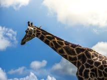 Girafe - camelopardalis do Giraffa Imagem de Stock Royalty Free