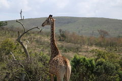 Girafe complète Photographie stock libre de droits