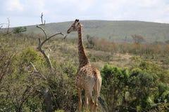Girafe complète Image libre de droits