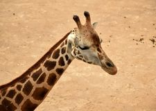 Girafe - détail Photos libres de droits