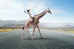 Girafe d'équitation de femme d'affaires Media mélangé Photographie stock libre de droits