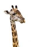 Girafe d'isolement Photo libre de droits