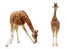 Girafe d'isolement sur le fond blanc Photographie stock