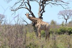 Girafe dans l'habitat naturel Photos stock