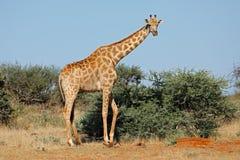 Girafe dans l'habitat naturel - Afrique du Sud Photographie stock libre de droits