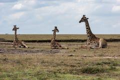 Girafe dans la savane de l'Afrique images stock