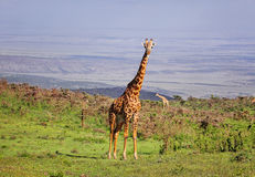 Girafe dans la vaste réservation de Ngorongoro Photo stock