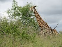 Girafe dans le buisson Photo stock