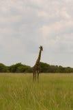 Girafe dans le buisson au coucher du soleil contre le ciel dans la PA d'Etosha Images stock