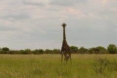 Girafe dans le buisson au coucher du soleil contre le ciel dans la PA d'Etosha Photographie stock libre de droits
