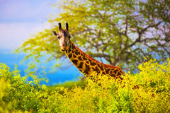 Girafe dans le buisson. Safari dans Tsavo occidental, Kenya, Afrique images libres de droits