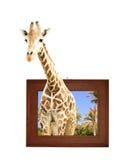 Girafe dans le cadre en bois avec l'effet 3d Photos libres de droits