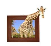 Girafe dans le cadre en bois avec l'effet 3d Images libres de droits
