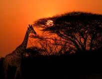 Girafe dans le coucher du soleil de parc de Kruger image stock