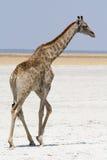 Girafe dans le désert se dirigeant  Images libres de droits