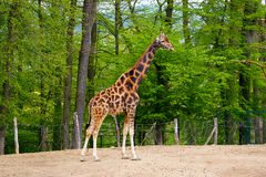 Girafe dans le pré Photographie stock libre de droits