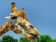 Girafe dans le zoo Italie de safari d'apulia de Fasano photo stock