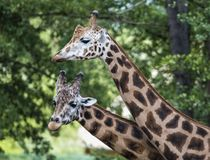Girafe dans le ZOO, Pilsen, République Tchèque Photos stock