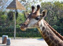Girafe dans un zoo Image stock