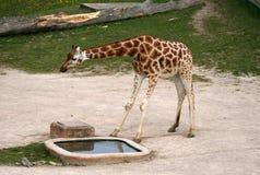 Girafe dans un zoo Photo libre de droits