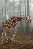 Girafe dans une forêt brumeuse photographie stock