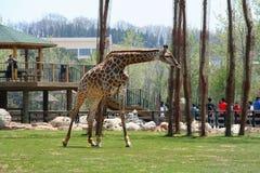Girafe dans une réserve naturelle Image stock