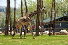 Girafe dans une réserve naturelle Photo stock