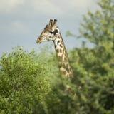 Girafe, das im serengeti Vorbehalt isst Lizenzfreie Stockbilder