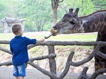 Girafe de alimentation dans le zoo Image stock