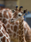 Girafe de bébé Image libre de droits