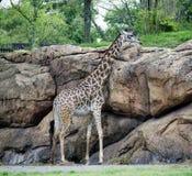 Girafe de bébé Images libres de droits
