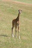 Girafe de bébé Photographie stock