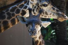 Girafe de bébé avec la maman au zoo de LA image libre de droits