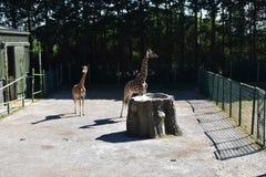 Girafe de bébé avec sa maman image libre de droits