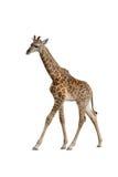 Girafe de bébé Photos libres de droits