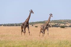 Girafe de deux masais marchant côte à côte sur la savane image stock