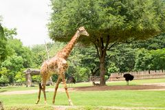 Girafe de faune dans le safari en Thaïlande Photographie stock libre de droits