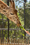 Girafe de Fed de main Images stock